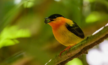 Orange-collared Manakin (male) - Free image #469205