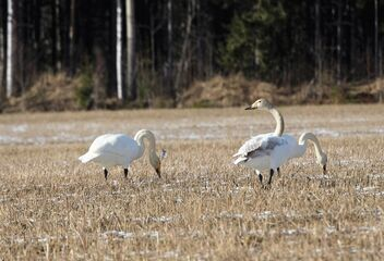 Swans are back - Free image #469475