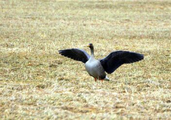 The forest goose,,,and wings - image gratuit #469545