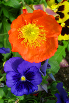 Orange and Blue Flowers , Garden Beauty - Free image #469725