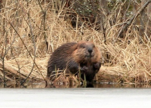 The last year beaver-puppy,,,, - Free image #470215