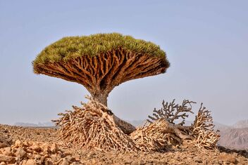 Dragon's Blood Tree - Kostenloses image #470425