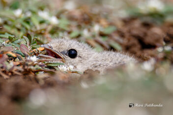 (5/5) A Small Pratincole chick hiding with its eyes closed. - бесплатный image #470695