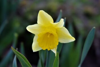 The first narcissus - image #470745 gratis