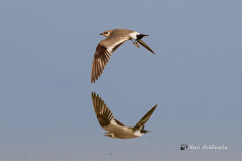 A Small Pratincole in Flight - wing almost touching the water - image #470825 gratis