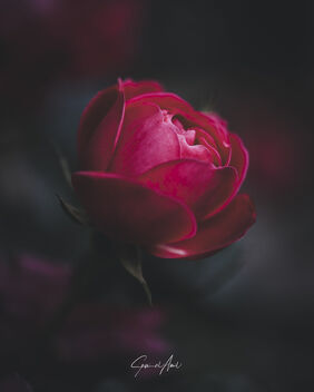 A Dreamy Rose - Kostenloses image #471065