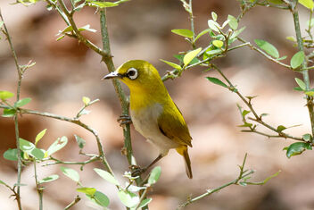 An Indian White Eye waiting at the leaky water pipe - image #471085 gratis