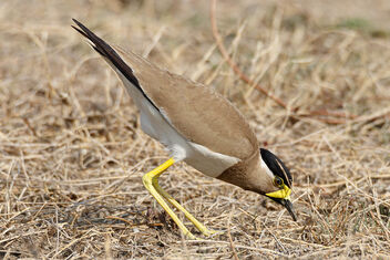 An Yellow Wattled Lapwing foraging for insects in the ground - image gratuit #471145