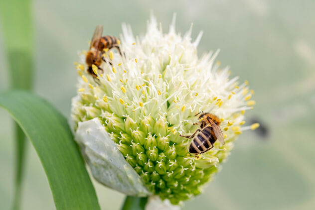 Blooming onion flower with a bees - image #471235 gratis