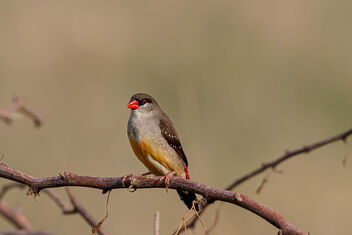 A Strawberry Finch perched on dry bush - image #471585 gratis