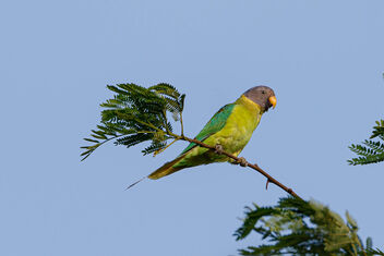 A Female Plum Headed Parakeet - image gratuit #471725