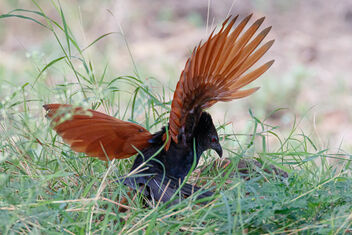 A Greater Coucal Fighting an Insect - image #471765 gratis