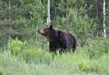 The brown bear - Free image #472065