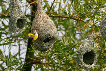 A Baya Weaver showcasing its newly built Nest to a female! - image #472205 gratis