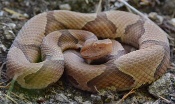 Eastern copperhead (Agkistrodon contortrix - image #472245 gratis