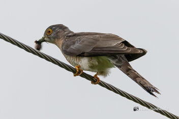 A Common Hawk Cuckoo with a Caterpillar meal - image #472465 gratis
