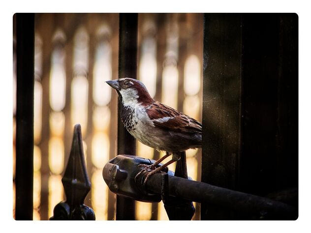 Sparrow at the Gates - бесплатный image #473025