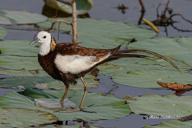 A Pheasant Tailed Jacana Walking on Lotus Leaves - image #473425 gratis