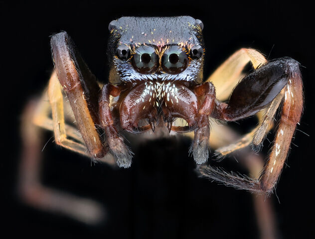 Small jumping spider_2020-08-03-17.52.30 ZS PMax UDR - image #473545 gratis