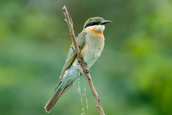 A Blue Tailed Bee Eater on a Perch - image gratuit #473585
