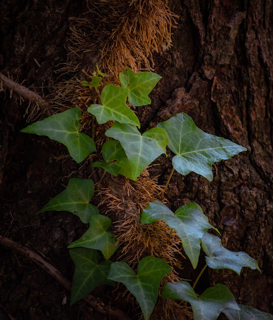 Ivy Growing on Tree - image gratuit #473995
