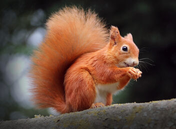 Red Squirrel Panic Buying - image #474685 gratis