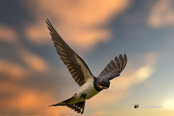 A Barn Swallow against the sky (Composite) - image gratuit #475715