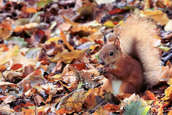 Red Squirrel - image gratuit #475775