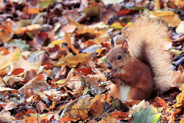 Red Squirrel - image #475775 gratis