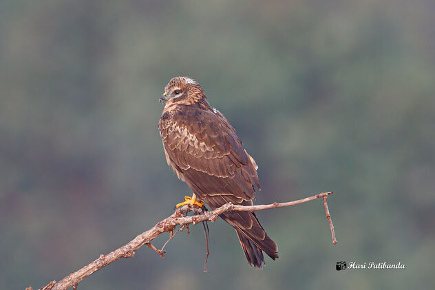 A Female Pallid Harrier roosting during sunrise - image #475815 gratis
