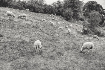 Herd of sheep - image gratuit #475835