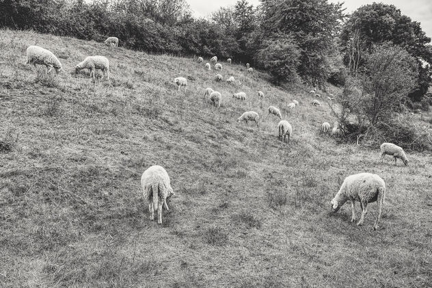 Herd of sheep - image #475835 gratis