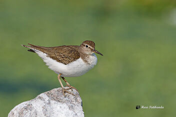 A Common Sandpiper ready to Fly - image gratuit #475845