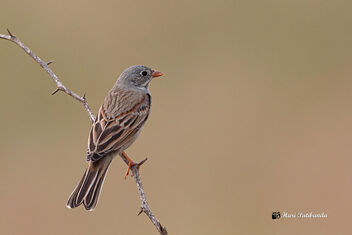 A Rare Grey-Necked Bunting on a perch - Free image #475885