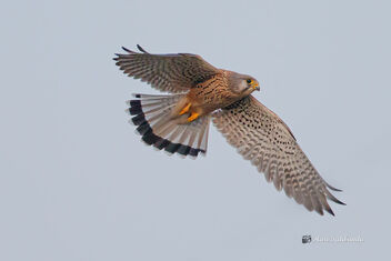 A Common Kestrel Male fighting with the female - image #476095 gratis