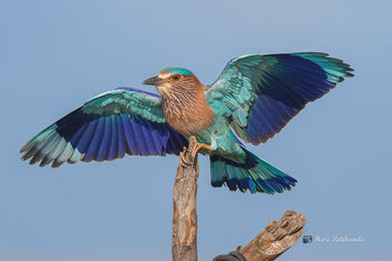 An Indian Roller landing on a Prize Perch - Kostenloses image #476245
