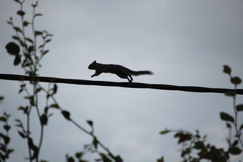 squirrel on a wire - Kostenloses image #476355