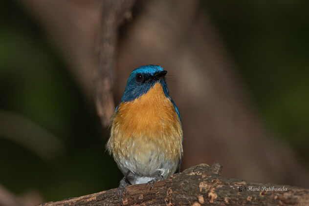 A Tickells Blue Flycatcher wary of a Robin - Free image #476625