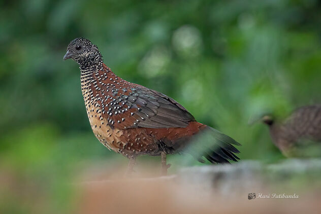 A Painted Spurfowl on the hillsides - Free image #476695