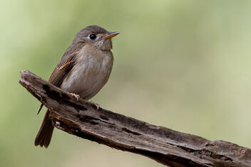 Portrait of a Rare Brown Breasted Flycatcher - Free image #477605