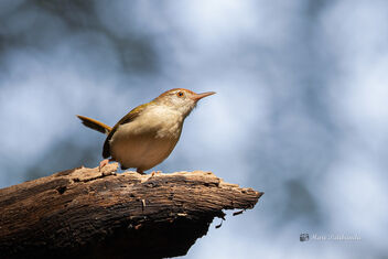 A Common Tailorbird active in the canopy - Free image #477665