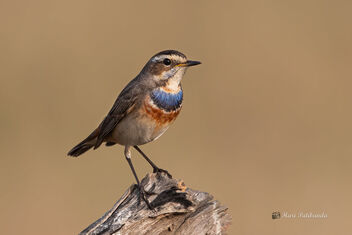 A Beautiful Bluethroat on a tree stump - Free image #477715
