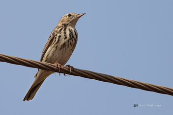 An Uncommon Tree Pipit - On a wire! - image #477795 gratis