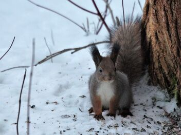 Squirrel - image #477805 gratis