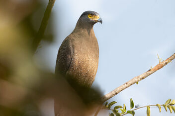 A Curious Crested Serpent Eagle - image #477845 gratis