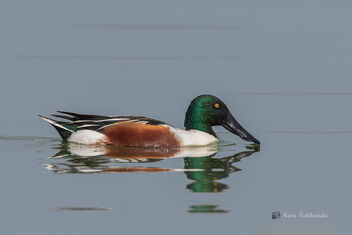 A Beautiful Northern Shoveler at work - image gratuit #478635