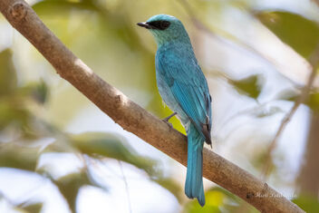 A Verditer Flycatcher up close - image gratuit #478695