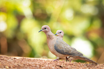 A Laughing Dove on a Serious Stroll - image #479755 gratis