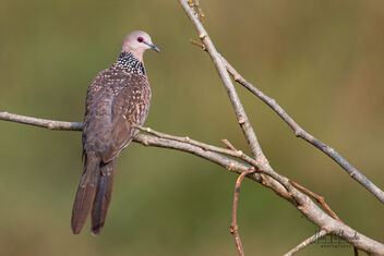 A Spotted Dove on a beautiful perch - image #479795 gratis