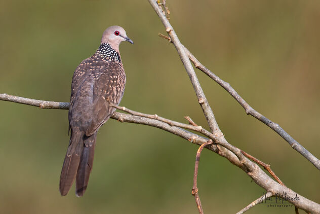 A Spotted Dove on a beautiful perch - Kostenloses image #479795